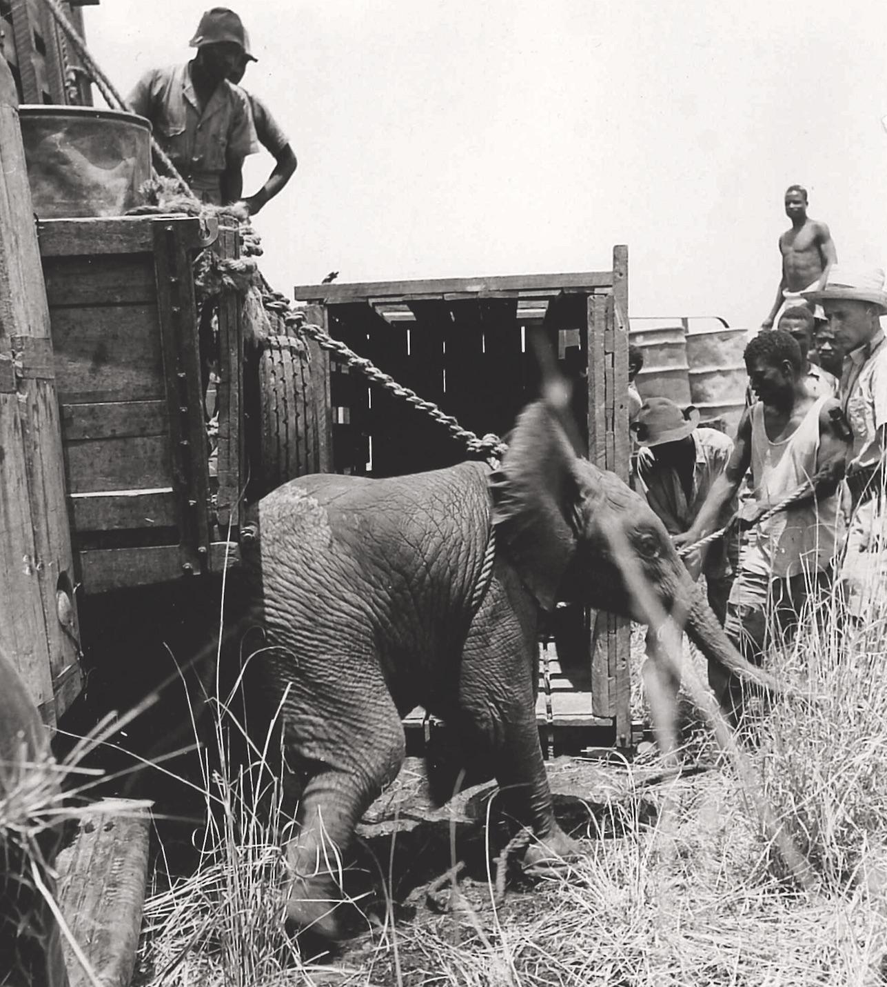 gefangener Elefant 1