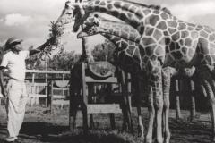 Giraffenfütterung