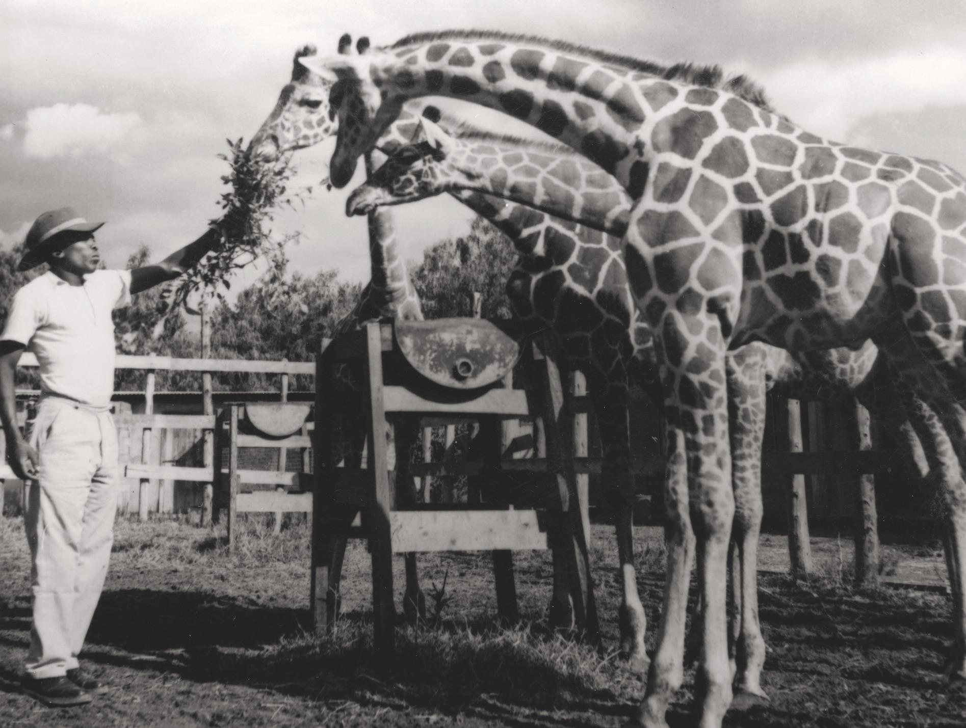 Ein Arbeiter füttert auf der Big Game Ranch Giraffen. Arusha, Tanzania, 1950er-Jahre, Staatsarchiv Thurgau