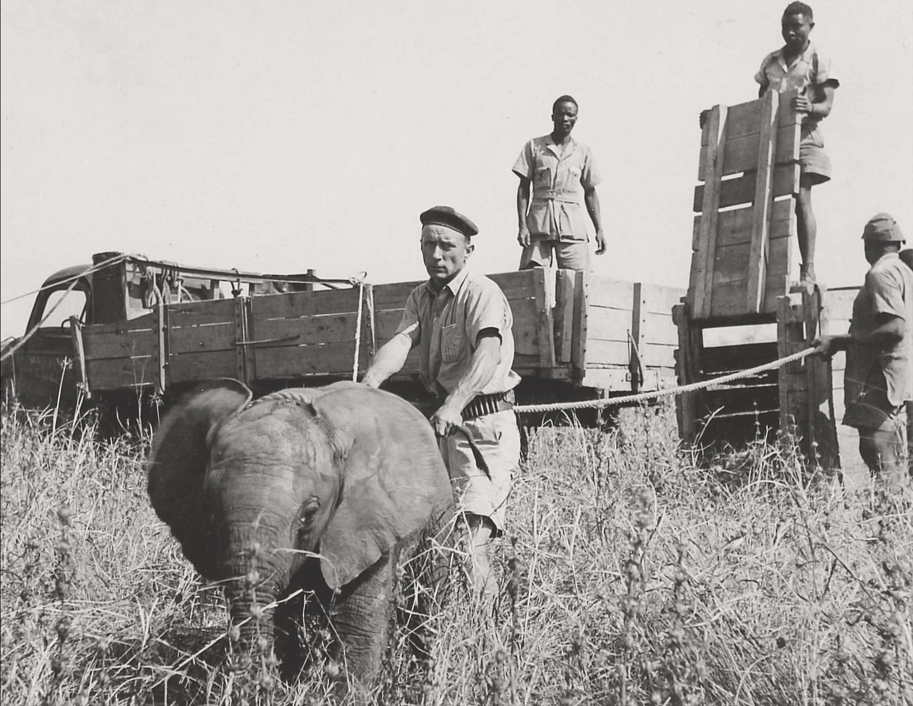 Arduino Pellegrini fängt den jungen Elefanten «Idunda» für den Basler Zoo. Foto: Fritz Ernst, Arusha, Tanzania, 1952, Privatbesitz